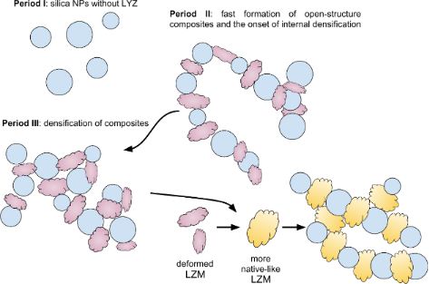 Mechanism of silica–lysozyme composite formation unravelled